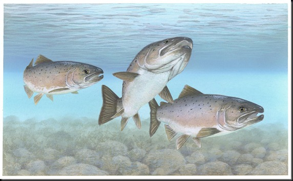 atlantic-salmon-atlantic-fish