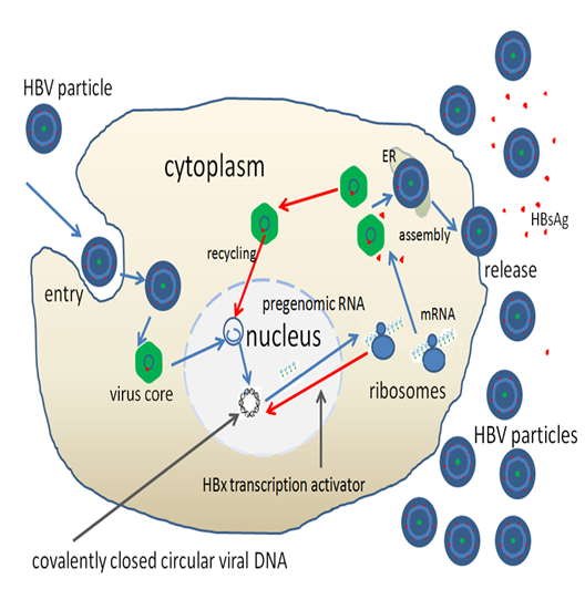 HBV_replication